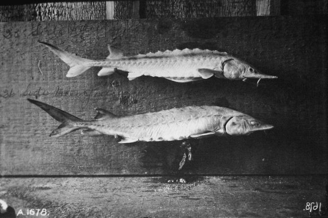 Sides of young sturgeon. Picture