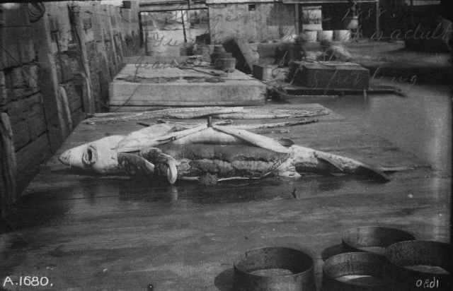 Sturgeon, 8 feet long, 1888. Picture