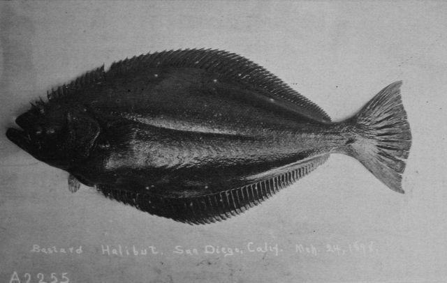 Flounder, bastard halibut, San Diego, CA, March 24, 1898. Picture