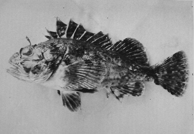 Rockfish. Picture