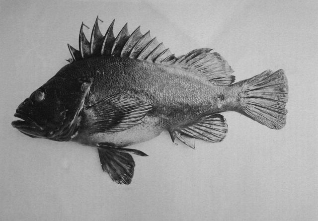 One of the rockfishes. Picture