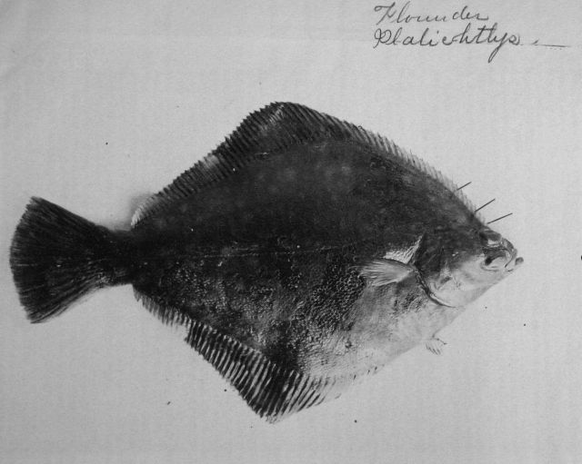 Flounder. Picture