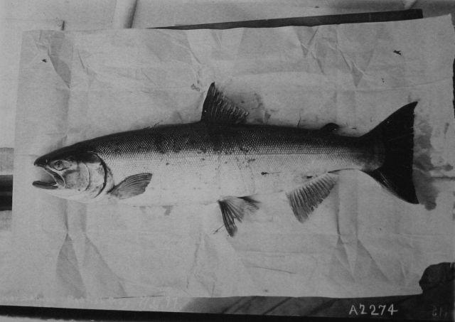 Silver salmon. Picture