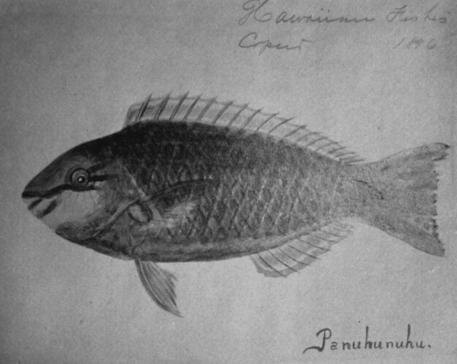 Hawaiian fishes, 1896, Panuhunuhu Picture