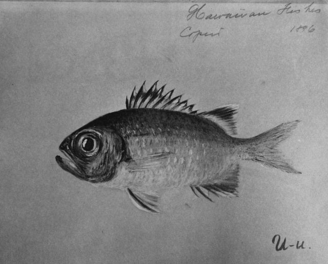 Hawaiian fishes, 1896, U-u. Picture