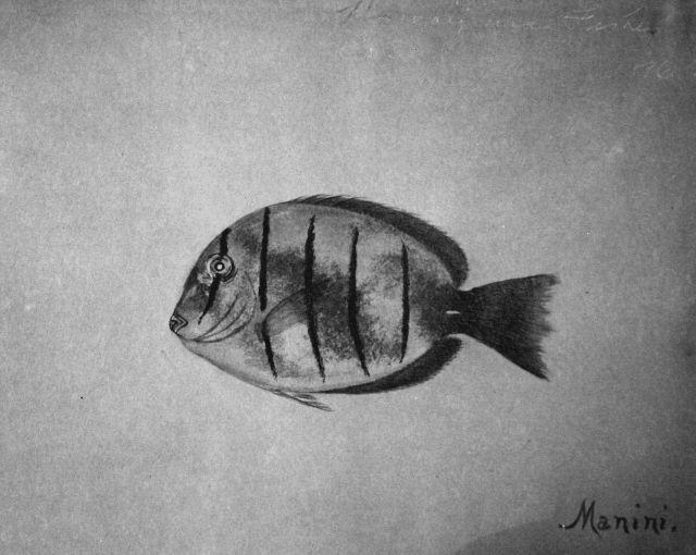 Hawaiian fishes, 1896, Manini. Picture
