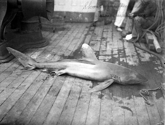 Albatross, HI, 1902, shark, first specimen taken. Picture