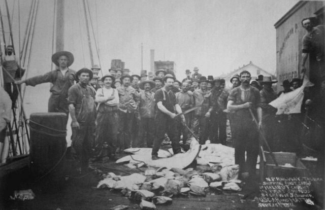 Northern Pacific Railway Tacoma shipping first cargo of halibut caught in Puget Sounds by crew of schooner Oscar and Hattie, Sept 20, 1888. Picture