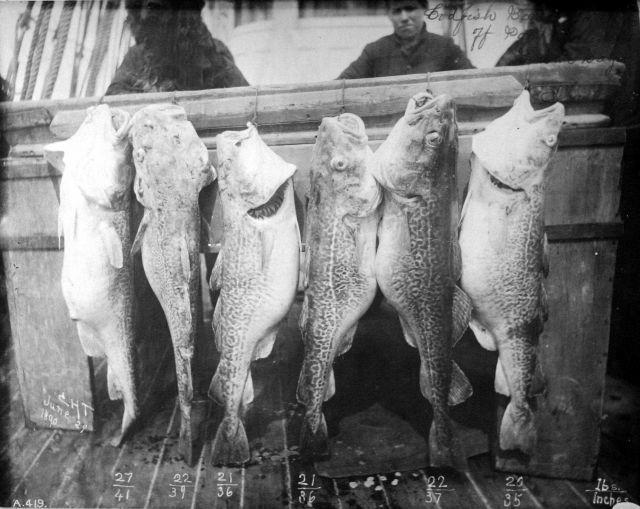 Codfish off Bristol Bay, Alaska, Steamer Albatross, 1890 Picture