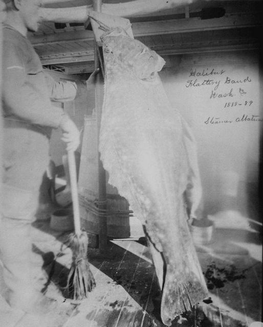 Halibut, Flattery Bank, WA, 1888-89, steamer Albatross. Picture
