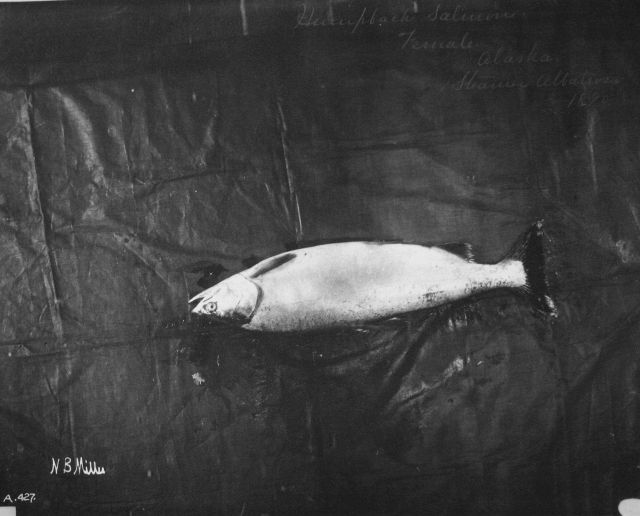 Humpback salmon, female, AK, steamer Albatross, 1890. Picture