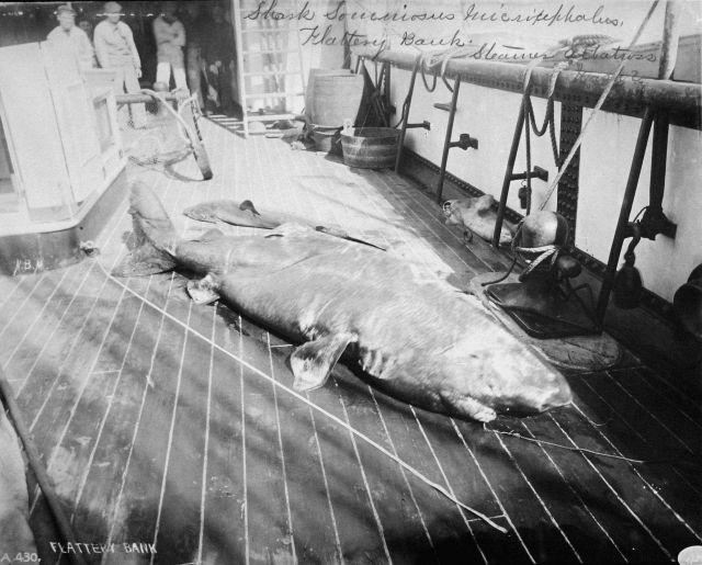 Shark, somniosus microcephalus, Flattery Bank, WA, Albatross. Picture