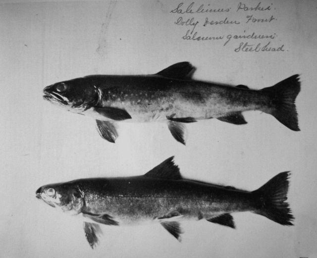Dolly Varden trout (Salvelinus malma Walbaum), steelhead (Oncorhynchus mykiss). Picture