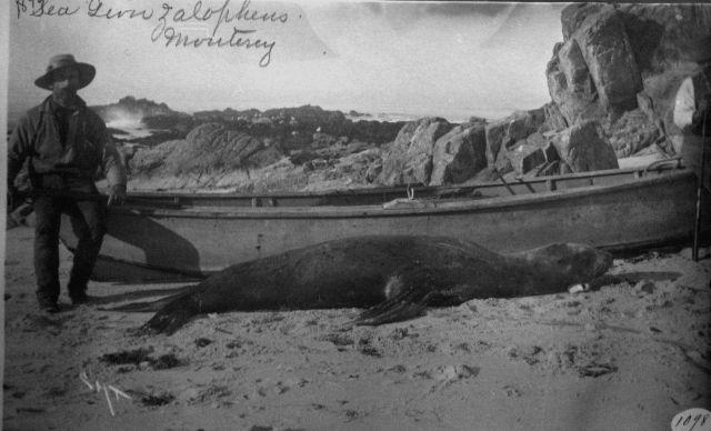 Sea lion zalophus, Monterey, CA. Picture