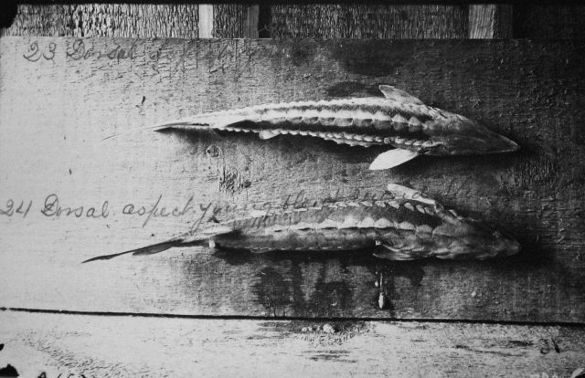 Dorsal aspect of young sturgeon. Picture