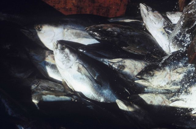 Yellowfin tuna being thawed in water Picture