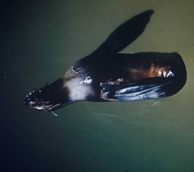 Northern fur seal floating, asleep, with back flippers folded over on left front flipper Picture