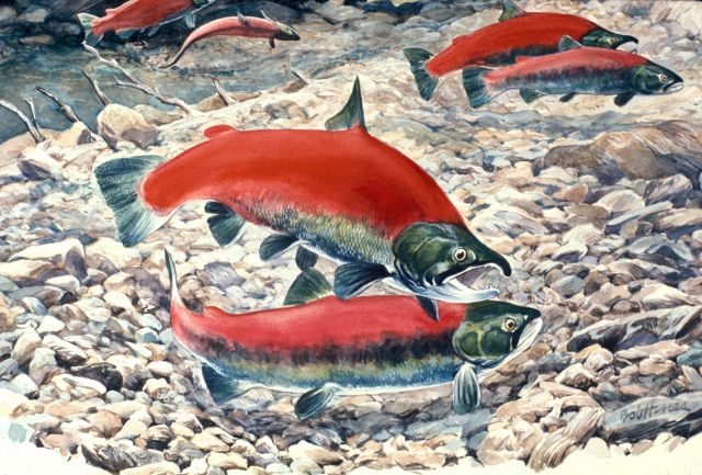 Sockeye (red) salmon spawning in an Alaska stream Picture