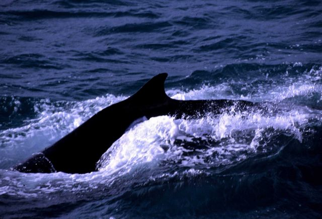 A humpback whale, with visible dorsal hump that gives it its name. Picture
