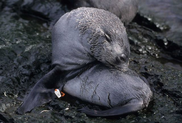 An Antarctic fur seal pup sporting a flipper tag. Picture