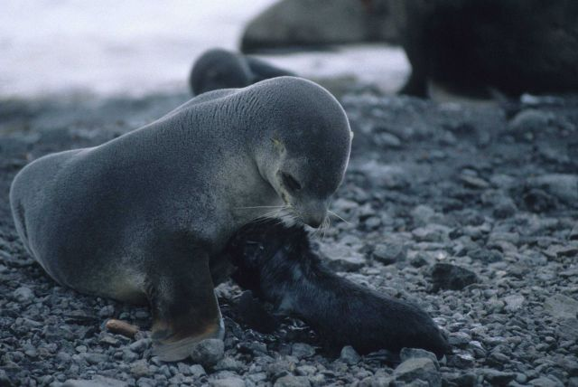 A female Antarctic fur seal and her newborn pup, only minutes old. Picture