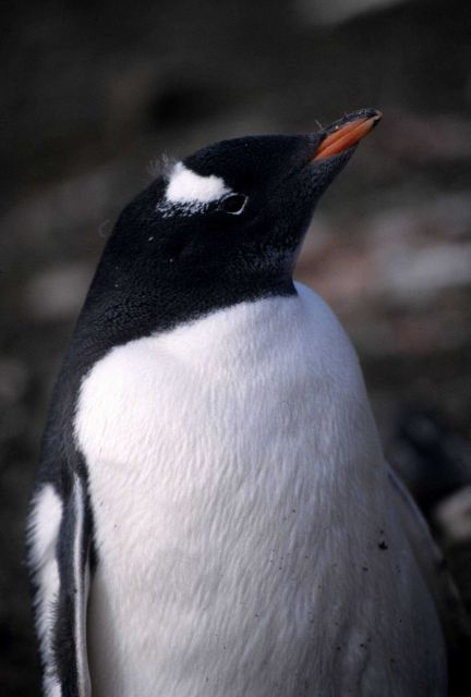 Close up of a freshly molted gentoo penguin. Picture