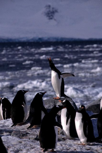 A gentoo penguin performing a courtship display. Picture