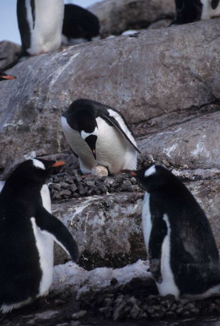 A gentoo penguin warming its egg. Picture