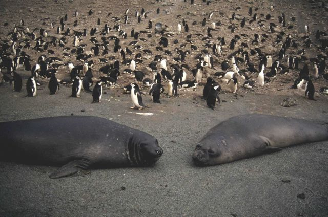 Female elephant seals at a chinstrap penguin colony. Picture