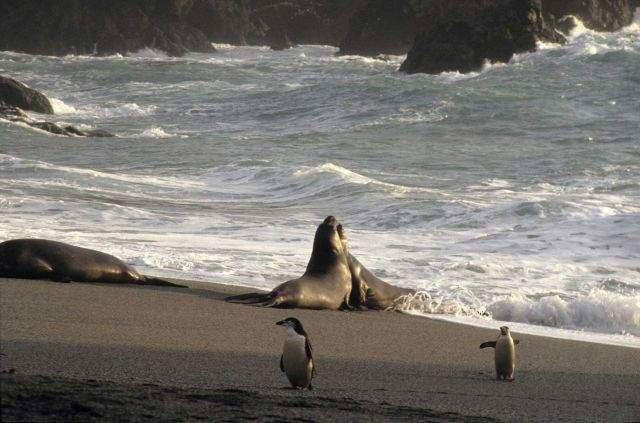 Southern elephant seals sparring at Seal Island, with chinstrap penguins looking on. Picture
