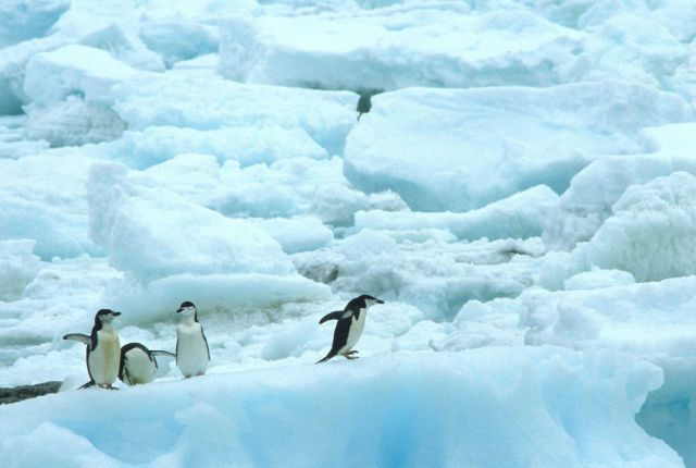 A group of chinstrap penguins on pack ice. Picture