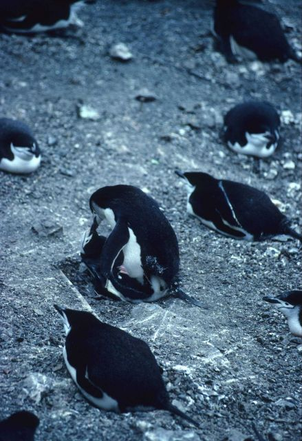 Chinstrap penguins copulating at a rookery. Picture