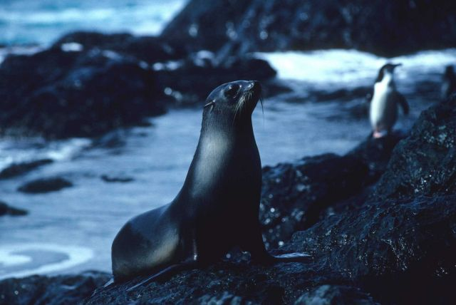 A female Antarctic fur seal after a swim. Picture