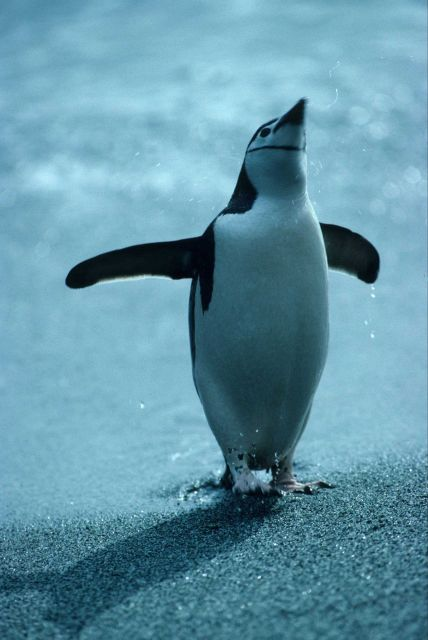 A chinstrap penguin after swimming. Picture