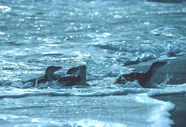 Chinstrap penguins returning to the beach after a foraging trip. Picture