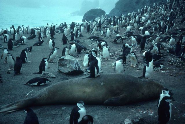 A chinstrap penguin preens while standing on a sleeping elephant seal. Picture