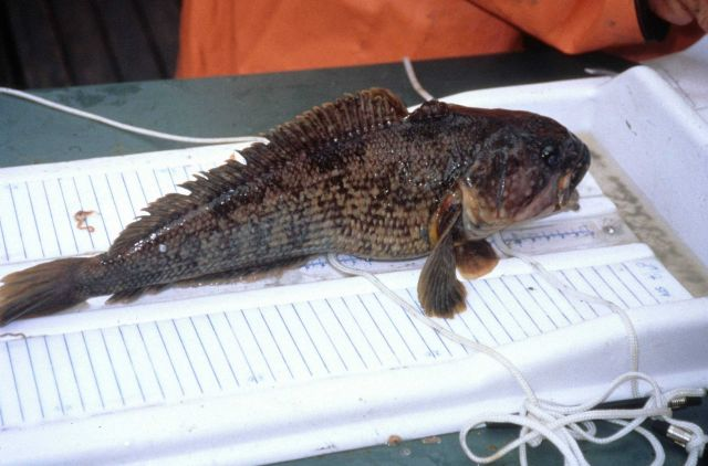 A black rockcod caught in a research trawl. Picture