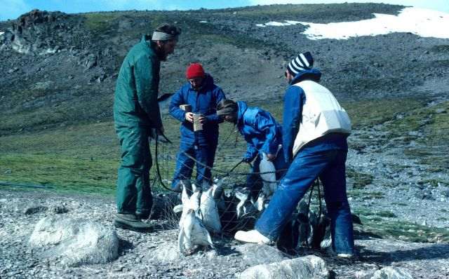 Capturing gentoo penguins for tagging and diet analysis; the birds are then released unharmed. Picture