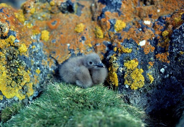 Skua chick. Picture