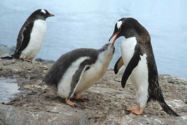 An adult gentoo penguin feeding its chick. Picture