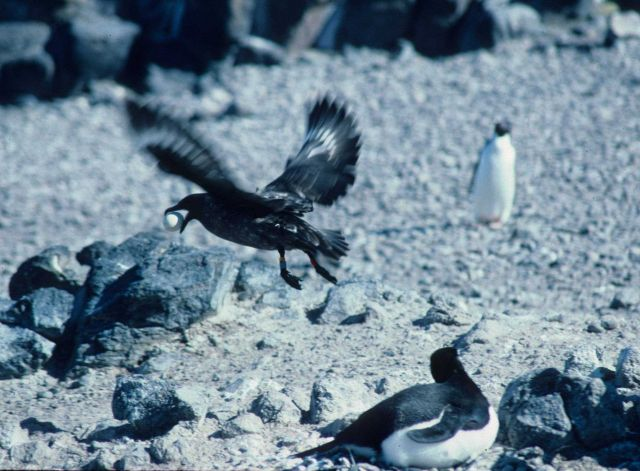 A skua flies away from an Adelie penguin colony with a stolen egg Picture