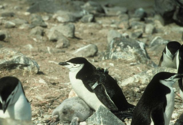 A chinstrap penguin oufitted with a radio transmitter. Picture