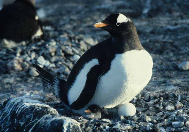 Asynchronous hatching in a gentoo penguin nest. Picture