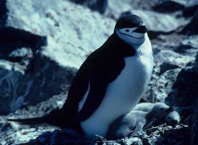 A chinstrap penguin with two chicks. Picture