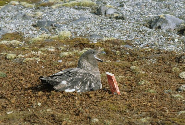 An adult skua sits on its nest near a nest marker Picture