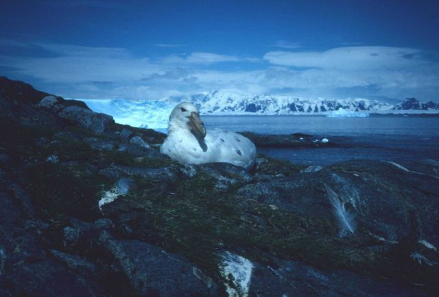 A white morph southern giant petrel sits on its nest atop a rocky hillside Picture