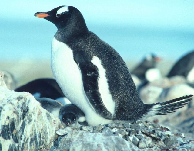 A gentoo penguin keeping its chicks warm. Picture