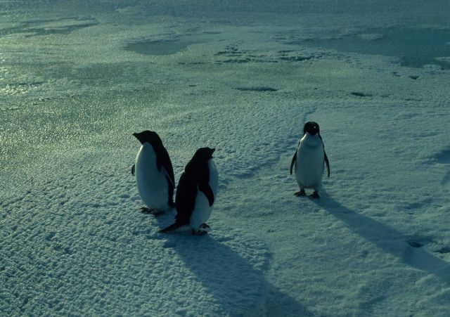 Three adult Adelie penguins convene on a snowy beach. Picture
