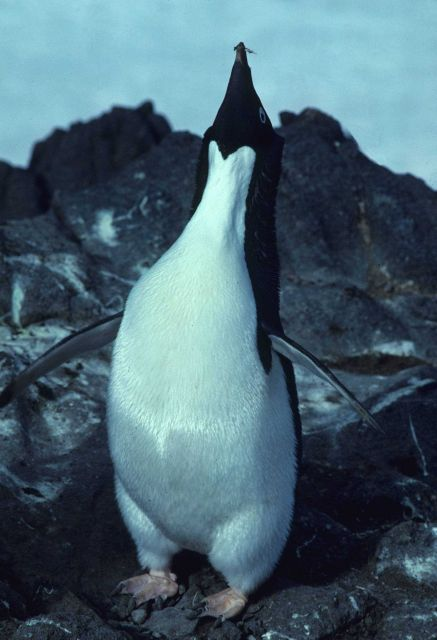 A male Adelie penguin performs a courtship display. Picture