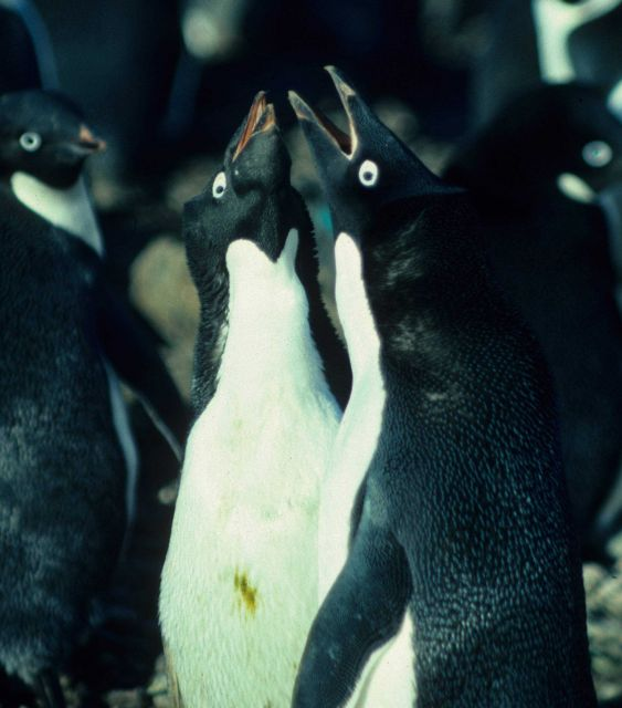 Territorial Adelie penguins confront each other near their nesting sites. Picture